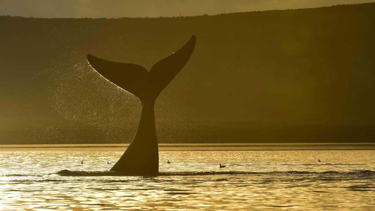 Las ballenas comenzaron a mostrarse en el sur argentino.